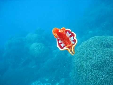 Spanish Dancer: Wavelength Snorkeling Great Barrier Reef.AVI