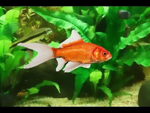 Guinea Pig Goldfish