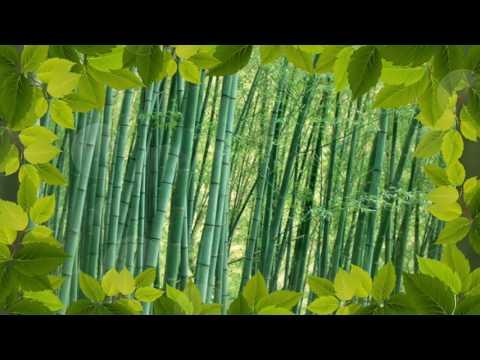 Саженцы бамбука