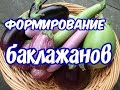 Как формировать баклажаны (секрет большого урожая,как получить плоды - 900-1000гр)