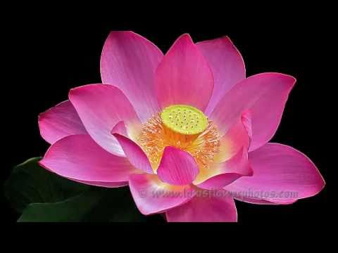 Amazing Lotus Flower Photos  ( Part # 4 )