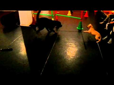 Rottweiler VS Pitbull fight  (Hellastar Aurora and Kirki playing)