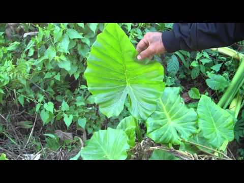 Koro Ethnobotany - Anthony Degio - [8] Jungle Yam