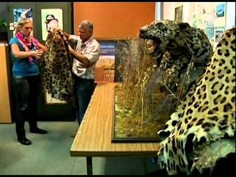 Científicos luchan por salvar al jaguar de Argentina