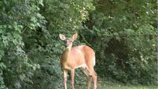 [Female Deer Jumps - R.A.V.E. (Random Animal Video Entertainment)] Video
