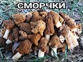 Сбор грибов|Собираем ДЕЛИКАТЕСЫ - МОЗГИ(Сморчковая шапочка)