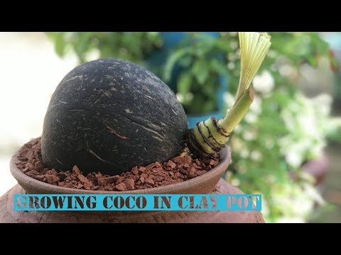 Growing coconut in water clay pot | Coco Bonsai