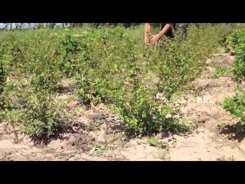 Купить кустарник стефанандры