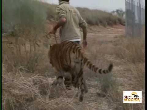 Ataque tigre By Fauna y Acción Animales de cine