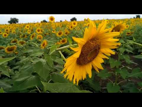 सोलापूर की सूर्यफूलपूर?
