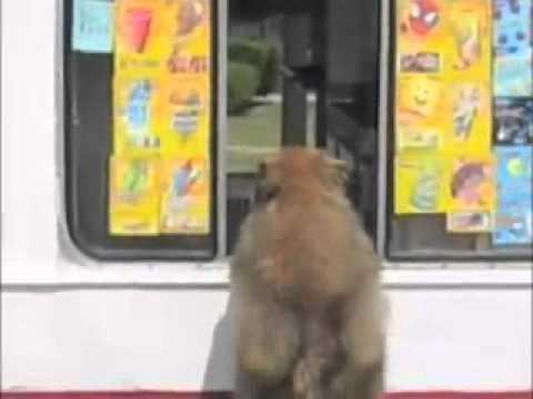 بالفيديو: شاهد ردة فعل جنونية لكلب عند قدوم سيارة الايس كريم