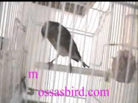 BirdMoviefromMossasBirdcom
