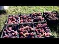 Фрагмент с конца видео Лучшие сорта винограда на участке 2018 г .