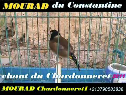 Chant De Chardonneret Royal
