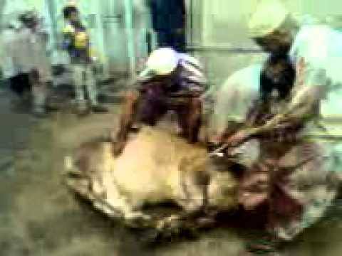 Qurbani Cow Kick http://kootation.com/big-cow-qurbani.html