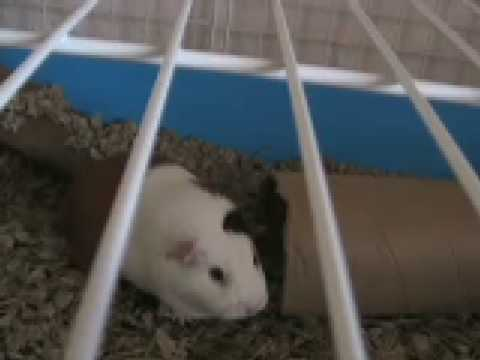 Big Guinea Pig Sneeze Slow Motion