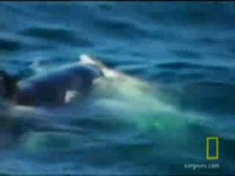 Orca Whale vs Great White Shark