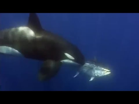 Giant Blue-Finned Tuna - Killer Whale - BBC