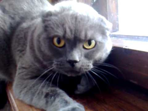 angry cat British Shorthair