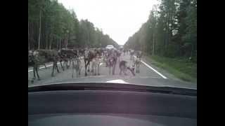 當公路上出現一群野鹿,駕駛員真的很無奈...