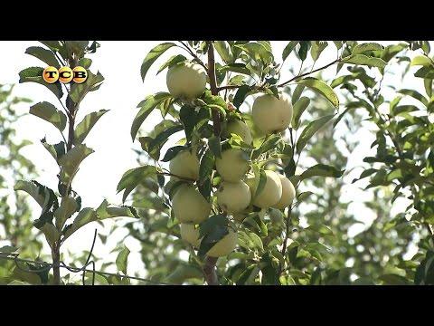 Яблоня колонновидная купить