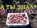 Когда убирать картофель? Признаки готовости урожая
