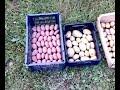 Фрагмент с начала видео Картофель. Осенняя подготовка сдвоенных рядов.