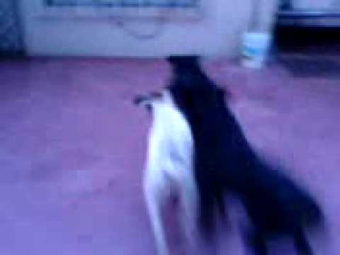 Rottweiler vs Pitbull fighting and playing