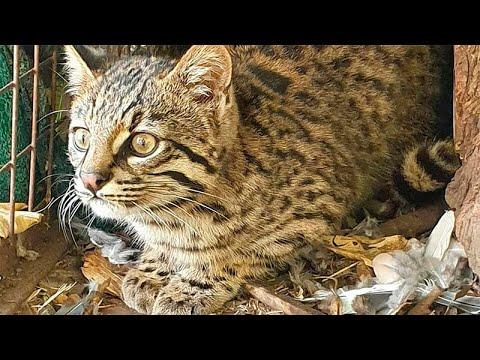 Liberaron a la cría de gato montés hallada en la ruta tras la muerte de su madre