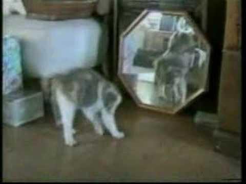 Gatos doidos
