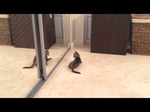 فيديو مضحك : شاهد قط يصارع انعكاسه في المرآة