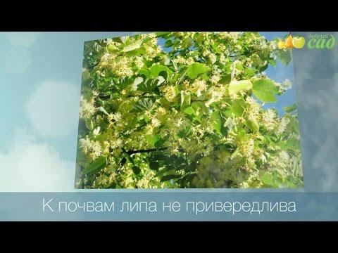 Саженцы липы купить в Москве