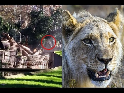 Ataque de leones a hombre Zoo Barcelona 2014