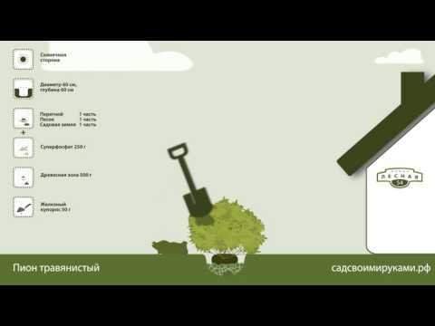 Купить саженцы пиона травянистого
