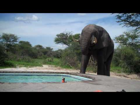 Elephant crashes the pool party