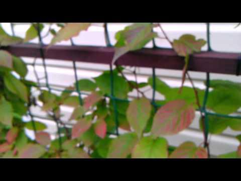 Купить саженцы актинидии коломикта