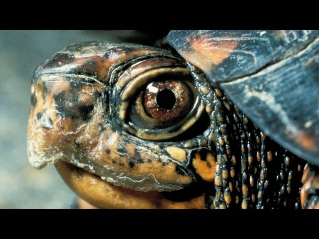 What's a Russian Turtle? | Pet Turtles
