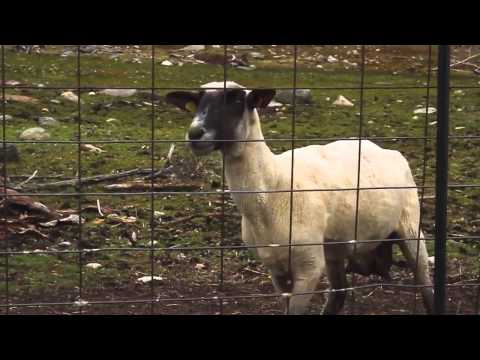The Screaming Sheep (Pecora che urla)