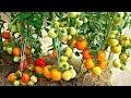 Посадка помидоров по два в лунку, что дает