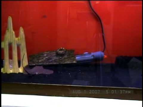Videoclip #1 - Fish Bowl Pet Shop, Stamford, CT - Tea Cup Stingray