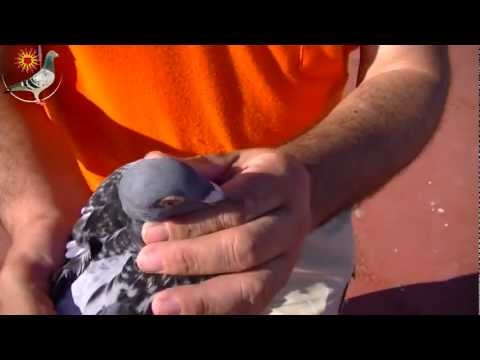 Injured racing Pigeon from