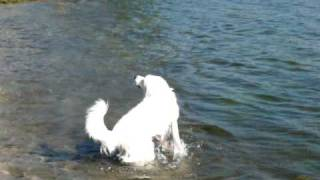 great pyrenees swimming
