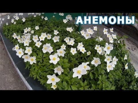 Луковицы анемоны