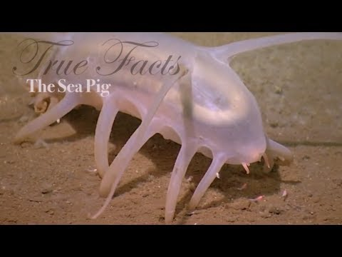 Who are you calling a sea pig?