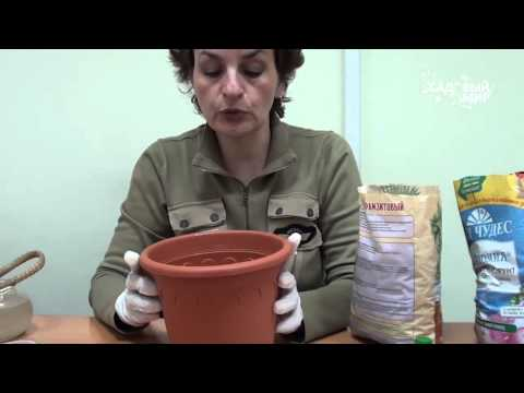 Луковицы каллы
