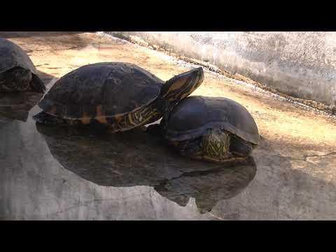Llevan adelante la recuperación de tortugas que estaban en la granja de Avelino