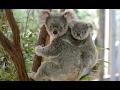 Коала в Австралии - милые коалы, дерутся и кричат. Прикол, видео подборка