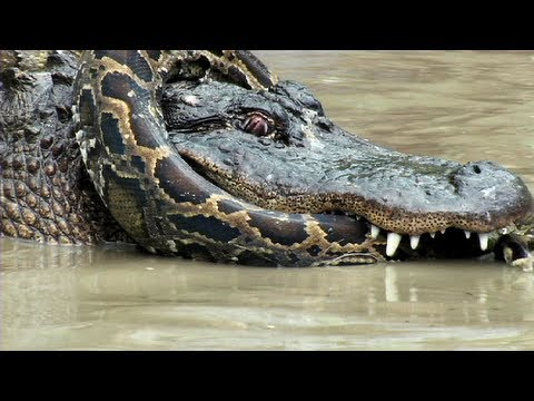 Python vs Alligator 10 -- Real Fight -- Python attacks Alligator