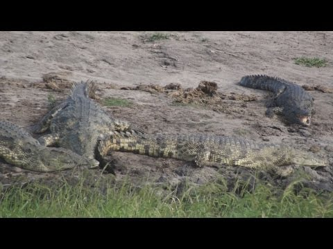 Elephants and Crocodiles at Chobe - Botswana