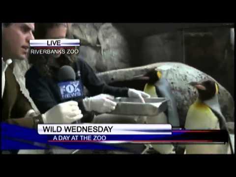 Tylers Travels: Wild Wednesday feeding penguins